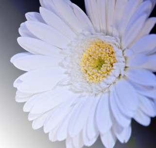 gerber daisy better.jpeg